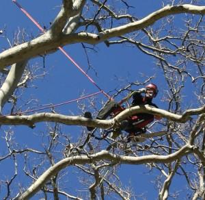 Elagueur en action dans un arbre